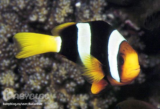 Чаще всего под этим названием фигурирует аквариумная рыбка Amphiprion.