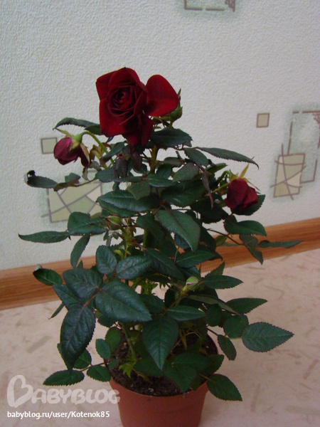 Домашняя роза вянет что делать