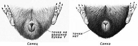 свинья половые органы фото