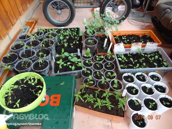 Выращивание цинии в домашних условиях
