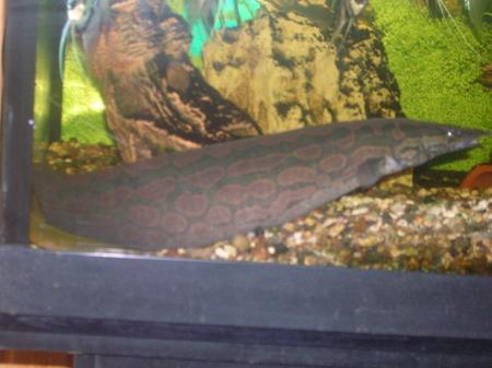 змей возраст 1-1,5г.длина 30-40см.безопасен для всех рыб.дружелюбин.