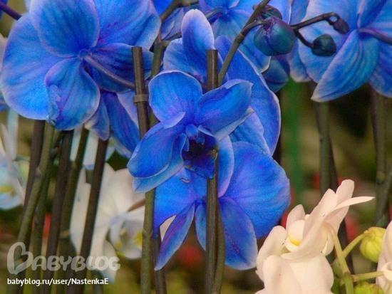 синие орхи.