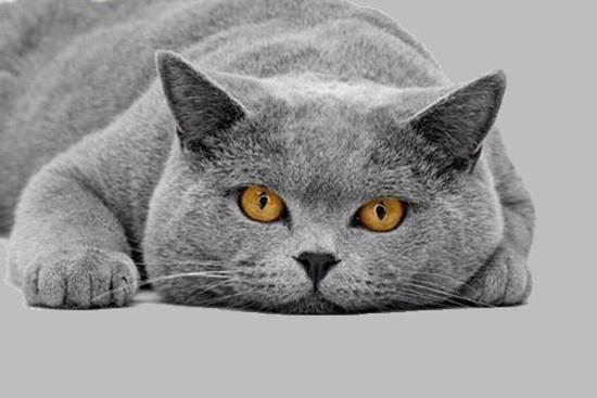 британская кошка черная фото. черная кошка британская кошка черная.