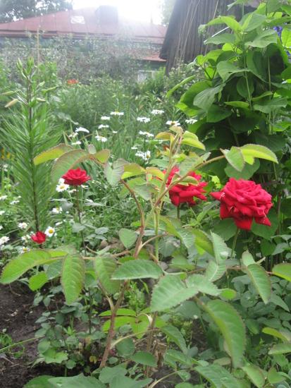 Выращивание розы на английском 26