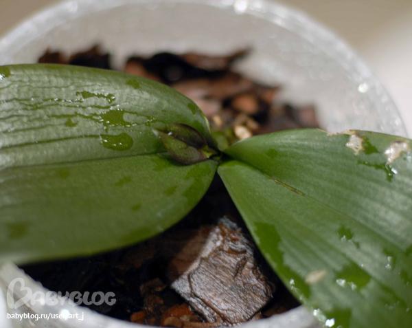 Детки орхидеи что делать 70