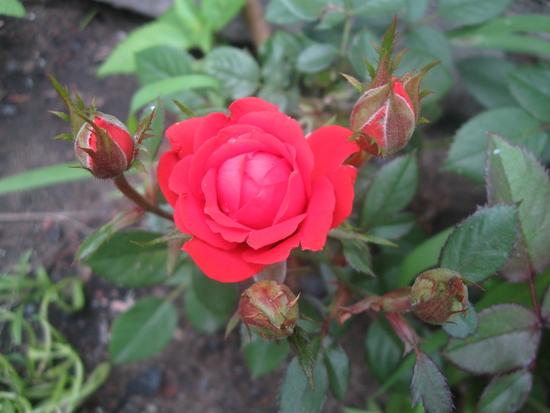 Выращивание розы на английском 86